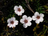 Adenandra villosa