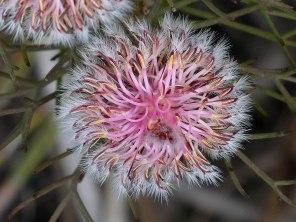 Serruria fasciflora