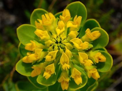 Rafnia capensis