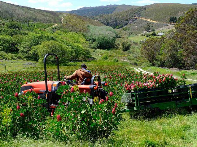 Protea harvesting