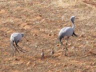 Blue Cranes and their chicks