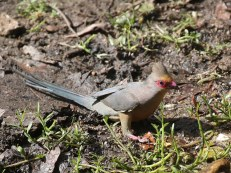The beautiful Red-faced Mousebird