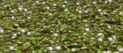 Water Lilies in the Caledon Gardens
