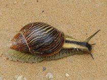 A land Snail