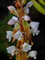 Satyrium acuminatum