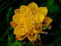 Ceratandra grandiflora