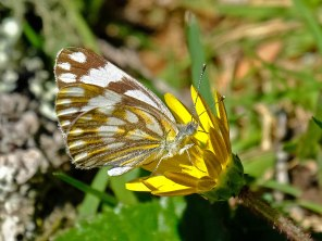 A pretty, but common butterfly