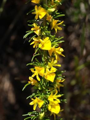 Aspalathus sp.