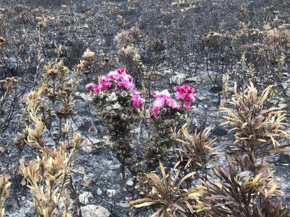 Phaenocoma prolifera survives whilst everything else is burnt