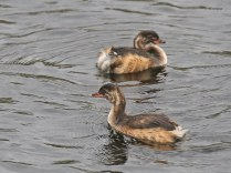 Little Grebe Chicks