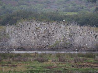 Cormorants, Sacred Ibis and Egrets roosting
