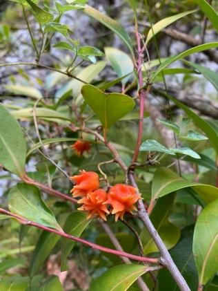 Red Cherrywood - Pterocelastrus rostratus