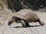 A Giant Karoo Tortoise