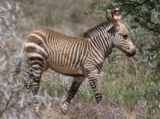 Mtn Zebra foal