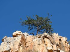 A Cedar tree clinging to a peak