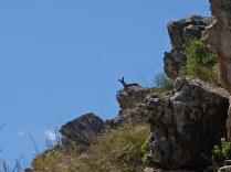 A watchful Klipspringer