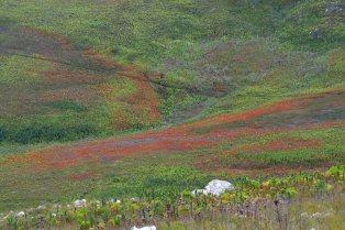 Fields of Erica pillansii
