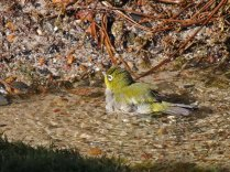 Cape White-eye bathing
