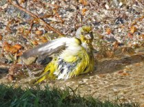 Cape Canary bathing