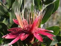 Protea sp.