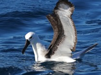 Juvenile Yellow-nosed Albatross