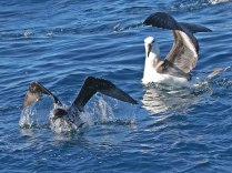 Fleeing White-chinned Petrel