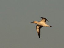 Cape Gannet in the evening light
