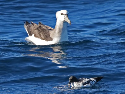 Size counts - Black-browed Albatross and Pintado Petrel