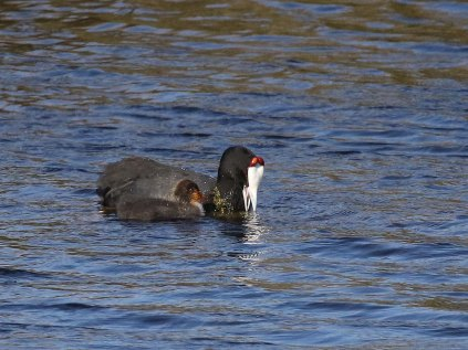Red-knobbed Coot and chick