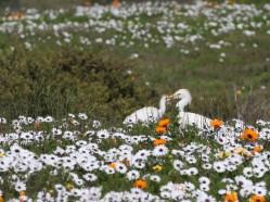Cattle Egrets enjoying the flowers