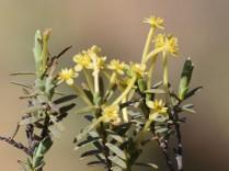 Struthiola leptantha