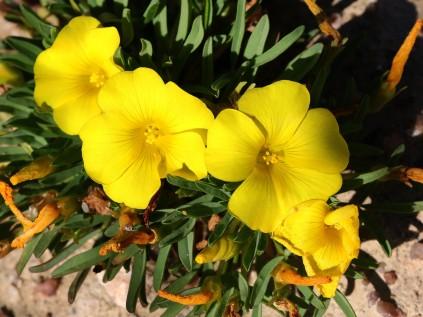 Oxalis namaquana