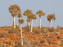 Aloe dichotoma (Kokerboom or Quiver Tree)
