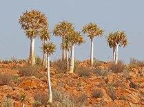 Aloe dichotoma (Kokerboom or Quiver Tree)