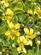 Zygophyllum cordifolium