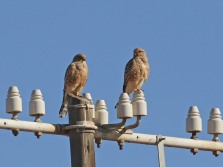 Greater Kestrels on the road to Port Niolloth