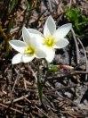 Hesperantha falcata