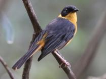 Chorister Robin