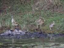 Barbel frenzy with Egyptian Geese looking on at Bonamanzi near the hide