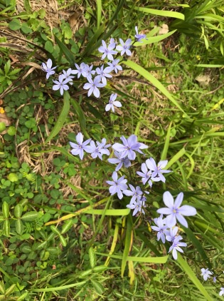 Aristea sp. at Ngoye