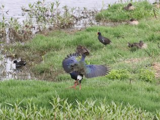 African Swamphens sizing each other up - and getting stuck in!