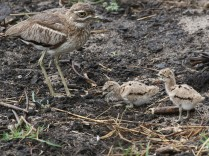 Water Thick Knee with chicks