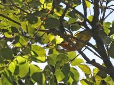 Black-fronted Bush Shrike