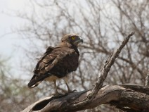 Young Black-chested Snake Eagle