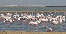 Mainly Greater Flamingos