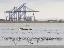 Avocets with Walvis Bay harbour in the background