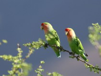 Rosy-cheeked Lovebirds