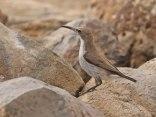 Female Dusky Sunbird