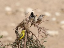 Yellow Canary, Lark-like Bunting, Red-headed Finch, Cape Sparrow and Red-billed Quelea vying for position!