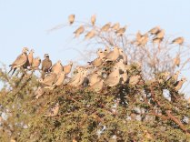 Cape Turtle Doves around a waterhole